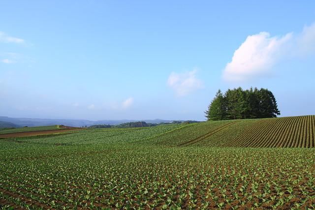 野菜畑と木立