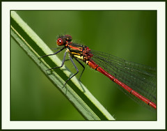 Red on green (Jan Gee) Tags: red macro green nature animals bug insect dragonfly wildlife insects libelle insekt damselfly juffer vuurjuffer rodewaterjuffer