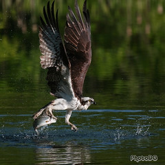 Osprey With Rainbow Trout, Green Timbers Urban Forest, Surrey BC (PhotoDG) Tags: fishing bird wildlife lake surrey green timbers urban forest park flying rainbow trout eos30d ef100400mm nature bc britishcolumbia canada action greentimbersurbanforestpark fish ef100400mmf4556lisusm osprey seahawk fisheagle greentimbersurbanforest 猛禽 birdofprey fishhawk 魚鷹 鹗 riverhawk