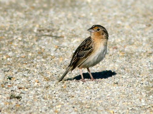 Grasshopper Sparrow 20100607