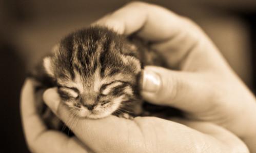 [フリー画像] 動物, 哺乳類, ネコ科, 猫・ネコ, 子猫・小猫, セピア, 201006131100