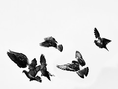 Birds in Black & White (MissMae) Tags: bw art birds ink japanese movement gulls drawings birdsinflight highkey graceful 43 week24 lakemurray themebw 525of2010 savagephotography