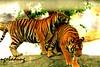 IMG_8247 (mr.ngobadung) Tags: tiger hổ cọp ngobadung