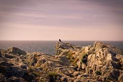 (marcos rv) Tags: sea sky espaa costa bird coast la mar spain corua mare may galicia galiza cielo mayo pajaro maio rocas spagna maggio 2010 oceano uccello atlantico scogli galizia