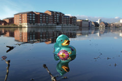 Morning Dip! (geezaweezer) Tags: blue water wales docks toy duck wildlife cymru cardiff wharf cardiffbay plasticduck tigerbay butedock jolyons waterquarter barcwtch biglittlecity geraintrowland