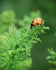 after a shower (*reina*) Tags: rain garden shower drops backyard ladybird ladybug davis fennel herb beyondbokeh
