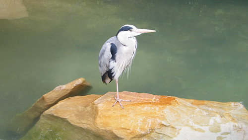 Heron in dublin zoo