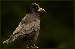 Carrion Crow.. (anthonynixon17) Tags: warwickshire sigma50500 carrioncrow coombeabbey olympuse510