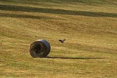 ROULANT 1 di 3 (Maria Grazia Marrulli) Tags: vacation birds italia ombre uccelli perugia viaggio umbria norcia balle agricoltura cereali preci cilindri paesaggicampestri