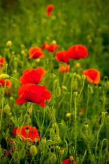 bloody poppies (ion-bogdan dumitrescu) Tags: red green field romania poppies papaver ploiesti bitzi mg2282 ibdp ibdpro wwwibdpro ionbogdandumitrescuphotography
