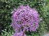 Staffanstorp (L Welin) Tags: blå lilja staffanstorp afrikas
