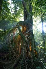 Costa Rica (joeksuey) Tags: costa sunlight strangler fig rica monteverde 2010 santuario ecologico joeksuey