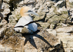 Gannet (Morus bassanus) Adult on Nest at RSPB Bempton Cliffs (Steve Greaves) Tags: sea cliff bird nature rock coast adult bokeh wildlife aves naturalhistory coastal ledge avian seabird gannet northerngannet morusbassanus bemptoncliffs sulabassana nikond300 globalbirdtrekkers nikonafsii400mmf28ifedlens