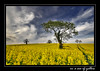 In a sea of yellow... (Alan10eden) Tags: summer tree field yellow bluesky crop tramlines oilseedrape osr arable tillage abigfave flickrdiamond updatecollection passiondéclic