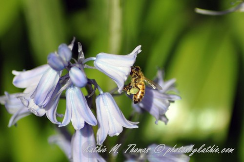 The bee and the bluebells