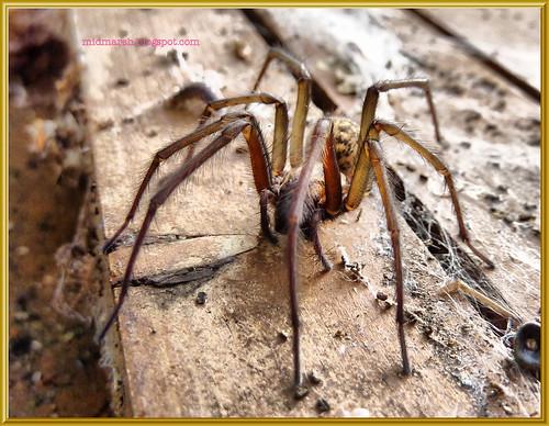 Garden Spider 1b