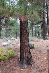 Jeffrey Pine Photo