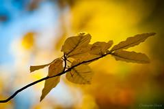 Feuille Automne (chris ulian) Tags: automne feuille