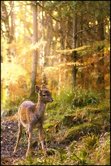 Autumn Light (Ben Locke (Ben909)) Tags: wild nature forest wildlife dean gloucestershire deer fallowdeer fallow forestofdean