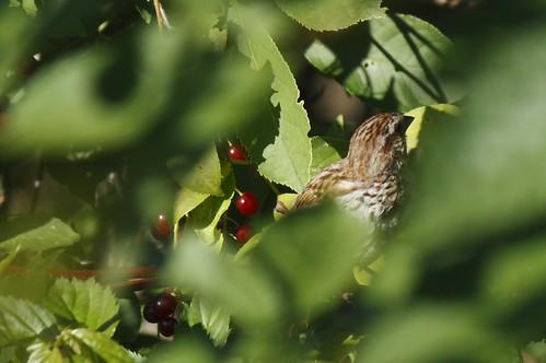 Song sparrow (3)