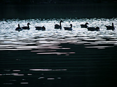 an evening swim (bdaryle) Tags: lake nature birds silhouette geese sony brandondaryle bdaryle imagesbybrandon