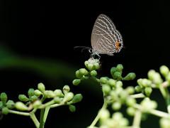 20170620-EM120151 (shutterblades) Tags: bukittimahnaturereserve butterflies hindhedenaturepark insect moth olympusem1mkii olympusmzuiko300mmf4pro