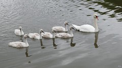 Fototermin....!! (peterphot) Tags: schwan swan wasservögel waterbirds wasser teich schilfteich frankenberg leica