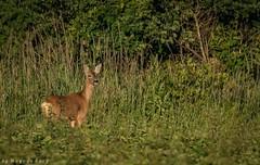 Capreolus capreolus/Deer/Rådjur (m3dborg) Tags: capreolus deer rådjur animals animal natural nature outdoor outdoors landscape vegetation grass wood lidköping sony a99ii tamron 150600