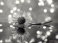 °°°°°°°° (MargoLuc) Tags: daisy reflection bokeh beauty wildflowers monochrome flower bw indoor