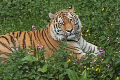 amurtiger taymir Ouwehands JN6A3756 (joankok) Tags: tiger tijger amoertijger amurtiger siberischetijger siberiantiger pantheratigrisaltaica ouwehands kat cat mammal zoogdier dier animal asia azie