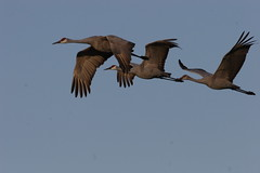Birds of a Feather (sizzlingcoture) Tags: sandhillcranes nature flying birds migration