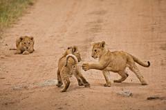 Lions of Maasai Kopjes 440 (Grete Howard) Tags: bestsafarioperator bestsafaricompany africa africansafari africanbush africananimals whichsafaricompany whichsafarioperator tanzania serengeti animals animalsofafrica animalphotos lions lioncubs maasaikopjes kopjes kopje
