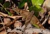Typhedanus undulatus (Hewitson, 1867) (robertoguerra10) Tags: urbanus proteus hesperiidae