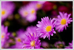 _(Chrysanthemum Series _Welcome Guest) (nans0410) Tags: macro nikon chrysanthemum tamron90mm  d90  vosplusbellesphotos