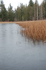 Ice-entrapped Reeds, Buck Lake 2009 (PJ Peterson) Tags: frozenlake kitsapcounty bucklake hansvillewashington