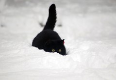 Snow cat Baillie (tracyhughes2_7.) Tags: snow black weather k animal cat baillie digitalcameraclub supershot flickrdiamond thesuperbmasterpiece 100commentgroup catnipaddicts saariysqualitypictures memorycornerportraits newgoldenseal