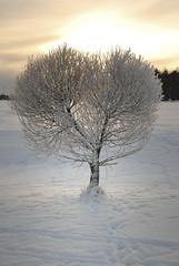 (Sameli) Tags: winter snow cold tree nature espoo suomi finland heart shaped sydäntalvi