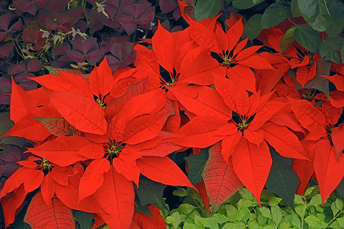 Poinsettia, at Missouri Botanical Garden (Shaw's Garden), in Saint Louis, Missouri, USA