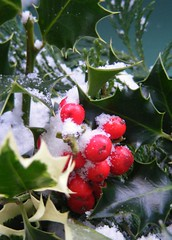 holly bush with snow