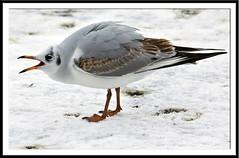 IMG_7935 (Kelvin_) Tags: snow bird birds canon mouth wings open wildlife gull feathers kelvin 15challengeswinner