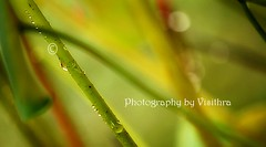 Abstract (visithra) Tags: travel plant abstract green art home nature water leaves garden painting drops lotus like malaysia kuala lumpur 2010