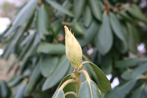 Rhododendron, waiting