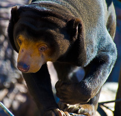 Sun Bear On The Prowl (aeschylus18917) Tags: bear nature japan zoo tokyo paw nikon wildlife claw   paws claws uenozoo nkon carnivora sunbear  d700 80400mmf4556vr onshiuenodbutsuen helarctos nikond700 danielruyle aeschylus18917 danruyle druyle  ursatatay helarctomalayanus