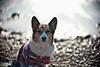 in the noonday sun (moaan) Tags: leica light sea dog sun sunlight beach sunshine digital point 50mm corgi dof shine bokeh pebbles f10 utata m8 cape noctilux welshcorgi sparkling kochi 2010 glisten glittering muroto 高知 室戸 pochiko leicam8 leicanoctilux50mmf10 pebblesonthebeach promontoly gettyimagesjapanq1 gettyimagesjapanq2