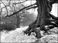 Birnam Oak (angus clyne) Tags: old trees winter mist cold tree misty fog forest river foot scotland moss oak frost branch bare branches perthshire freezing tay sycamore bark prints bleak rough dunkeld twiggs mossy ent macbeth birnam flikcr birnamoak impressedbeauty