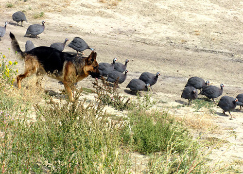 German Shepherd dog herding the Guinea fowl