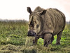 Rhinoceros (Robert Myer) Tags: ohio eating rhino hay horn rhinocerous thewilds alightlunch