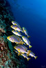 Always Together (Lea's UW Photography) Tags: underwater maldives fins sweetlips malediven tokina1017mm unterwasserfoto leamoser süsslippen