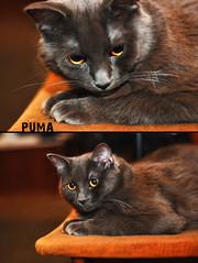 Puma! (ADIDA FALLEN ANGEL) Tags: animal cat lens fur 50mm amazing eyes chair nikon kitten profile pussy puma fangs pupils d40