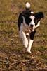 4/52 (fotoham) Tags: dog bordercollie indi sigma70300mmf4056dgmacro nikond3000 52weeksfordogs shelovesrunning welliguessthatsnormalshealwaysgetstreatsifsherunstome thatismywayoftraininghernottogotofar